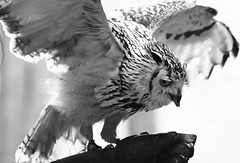 Wings (Wilamoyo) Tags: bw white black bird animal living flying bill wings nocturnal flight beak feathers owl glove predator creature wingspan yorkshiredaleswensleydale