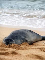 Poipu Beach (K e v i n) Tags: ocean vacation island hawaii coast sand honeymoon pacificocean kauai poipu hi southshore poipubeach hawaiianmonkseal poipubeachpark