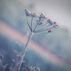 33 ~ small things (- e l i -) Tags: life plant insect small things ladybird ladybug elirees