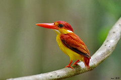 Rufous Backed Kingfisher #2 (Ken Goh