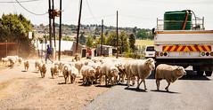 Maseru -  sheep crossing the road,   Lesotho (Rachel Dunsdon) Tags: road city crossing traffic sheep shepherd flock lesotho maseru crossingroad