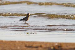 Dunlin - Calidris alpina - Kärrsnäppa (Jonas Emmertz) Tags: summer lake water birds canon evening skåne sand waves sweden 7d sverige dunlin calidrisalpina scania vombsjön kärrsnäppa canoneos7d canon7d övedskloster