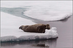 Bearded Seal (Smudge 9000) Tags: summer ice svalbard arctic pack seal bearded mamal 2013