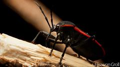 Bordered Plant Bug - Largus sp. (Largidae) (elisa_vg) Tags: macro nature true animal bug insect bugs arthropoda arthropod insecta hemiptera heteroptera greatnature largidae pyrrhocoroidea