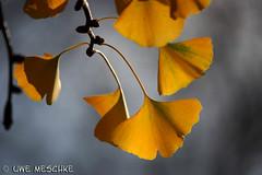Ginkobaum (binax25) Tags: autumn colors yellow licht leaf herbst jahreszeit gelb blatt baum ginko farben