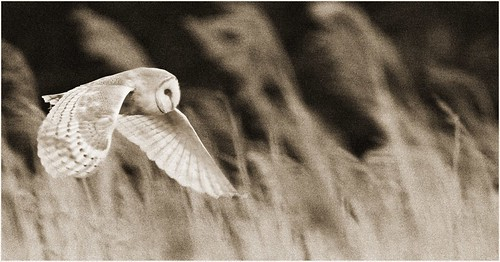 The Hunting Barn Owl.jpg