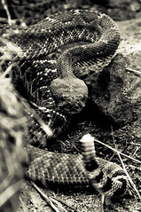 Pissed off hiking buddy (Photography by SiNNeD) Tags: blackandwhite nature sandiego nikond70 hiking snake angry rattlesnake escondido stayaway bigsnake readytostrike hewasmad healmostkilledus