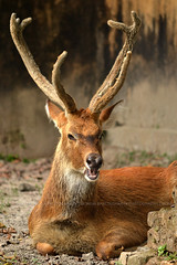 Thamin (Monish S. B.) Tags: animal zoo wildlife kolkata wildlifephotography zoophotography aliporezookolkata thamindeer nikond3100 nikonafsdxnikkor55300mmf4556gedvr
