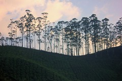 Trees (deejay90210) Tags: trees sun india green nature clouds canon eos dawn hills adventure greenery kerela munnar teagardens friendlychallengessweep