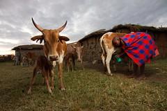 IMG_1541 (Stuart Butler / Oceansurf) Tags: africa portrait village cattle kenya wildlife tribal savannah tribe maasai maasaimara manyatta june2013