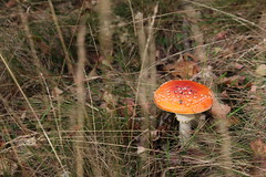 Fly Amanita (Anja Hebrank) Tags: travel autumn red wild sun colour travelling love nature mushroom grass leaves forest canon germany fun dresden woods europe laub herbst natur wiese german fungus gras wald pilz fliegenpilz travelphotography flyamanita travelphotodiary canoneos600d