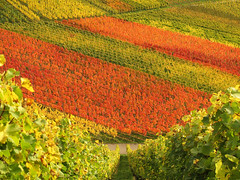 Autumn Vineyard (Habub3) Tags: travel autumn holiday color fall nature canon germany landscape deutschland leaf vineyard search reisen europa europe urlaub herbst natur vine powershot landschaft vacanze wein farben weinberg g12 2014 beutelsbach serach weinstadt habub3 vision:plant=0526 vision:outdoor=0897