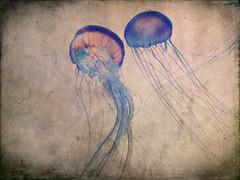 two jellyfish (texture) (Mr.  Mark) Tags: colour art texture beautiful animal aquarium photo jellyfish stock retro fishcolor markboucher