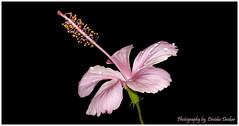Pink Hibiscus (Devidas Deokar) Tags: pink flowers black flower nature colors beautiful beauty landscape nokia colours natural ngc hibiscus n8