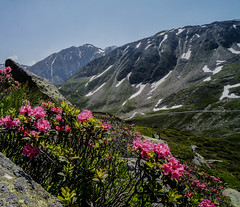 Alpenrose (Rhododendron ferrugineum) (H.Kunath) Tags: mountains alpen windachtal tztal enzian steinbock stubaital murmeltier slden alpenrose gams neustift stubaier kleblealm stubaiergletscher lngenfeld stubaierwildspitze dresdnerhtte kuhscheibe zuckerhtl hochgebirge stubaieralpen schrankogel ambergerhtte fernau hochstubaihtte becherhaus hildesheimerhtte siegerlandhtte schaufelspitze schneeberghtte sulztalferner wildeleck schussgrubenkogel gaiskarferner gletscherbahnen warenkarscharte windacherferner brunnenkoglhaus bergwerkschneeberg gasthofhochfirst fieglsgasthaus unterstandshtte bildstckljoch fernaustadl wtenkarsattel wenkarferner windacherdaunkogl tztalerwildspitze schusterngel