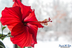 Show Off (Daniel M. Reck) Tags: christmas winter red white cold flower illinois unitedstates pistil hibiscus biology hinsdale