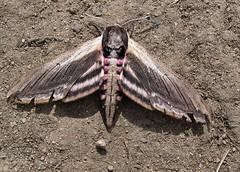 Sphinx ligustri - Sphinx du troène - Privet Hawk Moth -  28/06/12 (Philippe_Boissel) Tags: france europe bretagne insects lepidoptera papillon sphingidae morbihan sphinxligustri pluneret privethawkmoth hétérocère sphinxdutroène 064j