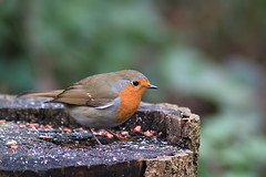 Robin eating