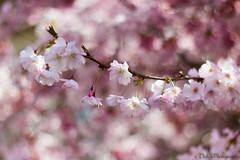 Douceur des fleurs de cerisier (Blandine - L) Tags: mars fleurs 50mm bokeh cherryblossom sakura printemps cerisier branche douceur 2014 bokehwhores simplysuperb beyondbokeh