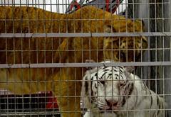 The Tigers (Adventurer Dustin Holmes) Tags: animal animals circus tiger bigcat tigers bigcats whitetiger whitetigers circusanimals shrinecircus circusanimal circustigers cagedtigers aboubenadhemshrinecircus