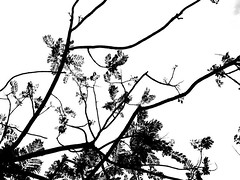 B&N (carolinacenz) Tags: blackandwhite bw tree blancoynegro argentina arbol buenosaires kodak bn easyshare c813 kodakeasysharec813