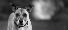faithful companion (Simon[L]) Tags: dogportrait bokeh monochrome konicahexanon85mmf18 catchlights naturallight wideformat
