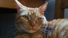 ROCKY (merseymouse) Tags: cats felines pets animals