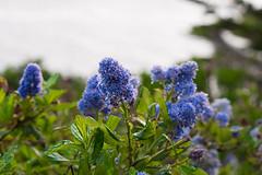 P1000635.jpg (HolyGrail Media) Tags: pointlobos flowers