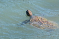 Turtle Taking a Breath 3 (Bob Hawley) Tags: gangzi chungshanfishingharbour pingtung asia taiwan nikond7100 outdoors animals wildlife creatures sea water nature greenseaturtles reptiles cheloniamydas nikon300mmf4afs swimming