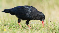 Chough, (Pyrrhocorax pyrrhocorax). (PRA Images) Tags: chough pyrrhocoraxpyrrhocorax birds wildlife nature southstack rspbsouthstack holyisland anglesey