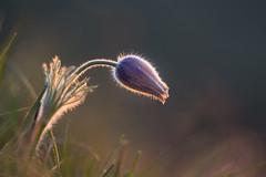 Morning glow (jmwill2005) Tags: küchenschelle kuhschelle pulsatilla vulgaris pflanze wildpflanze blume wildblume naturschutz outdoor flora frühblüher