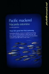 Pacific Mackerel (Narwal) Tags: monterey california ca usa us 美國 加州 蒙特雷 pacific mackerel