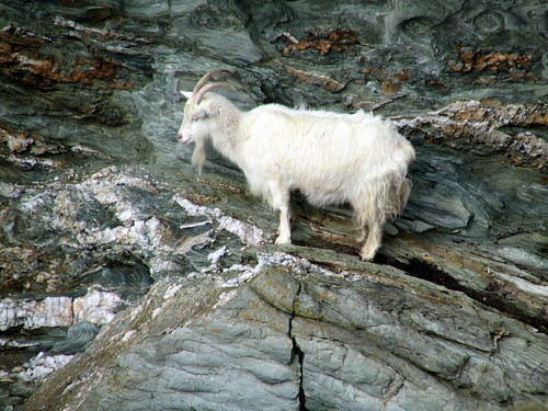 Goat at Porth Saint