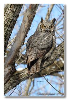 103A5531-DL   Grand-duc d'Amérique / Great Horned Owl.