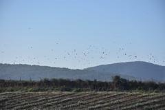 Vol d'ocells (esta_ahi) Tags: torrellesdefoix estol ocells pájaros aves fauna bandada vinya viña viñedo vineyard vitisvinifera penedès barcelona spain españa испания