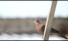 pigeon ... (miss.abr) Tags: 비둘기 자연스러운 사진술 تصويري كانون natural bird animal canon photography pigeon