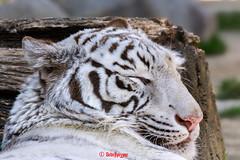 Sky ♂ - Beautiful Dreamer (Belteshazzar (AKA Harimau Kayu)) Tags: sky tiger zoo animal bigcat bigcats feline bengaltiger pantheratigristigris königstiger indischertiger eltigredebengala tigredubengale latigrerealedelbengala бенгальскийтигр 孟加拉虎 whitetiger weisertiger tigreblanco tigreblancroyal белыйтигр 孟加拉白虎 zooshot tobu tobuzoo snowwhite sunbathing canada playful playfulcat playfultiger playfulwhitetiger bengal sex blueeyes curiosity