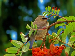 Waxwing wanderings (photographicimages) Tags: waxwing perch summer baby berries