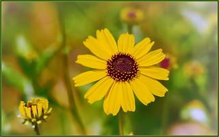Beaming Bush Sunflower