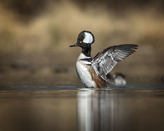 Showin Off... (DTT67) Tags: ducks birds waterfowl wildlife nature nationalgeographic canon 500mmii merganser hoodedmerganser hoody drakes 5dmkiv 2xtc