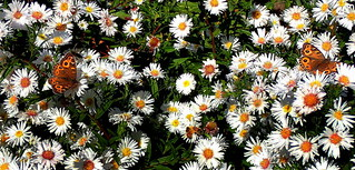 Four HONEYBEES and Two BUTTERFLIES enjoying the EASTER DAISIES