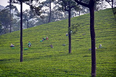 India - Kerala - Munnar - Tea Harvest (asienman) Tags: india kerala munnar teaharvest asienmanphotography