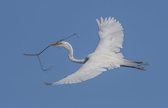 Great Egret (nikunj.m.patel) Tags: egret spring wildlife nature birds avian birdinflight rookery photography