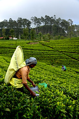 Tea picking (MelindaChan ^..^) Tags: srilanka 斯里蘭卡 tea garden plant chanmelmel mel melinda melindachan nature rural countryside plantation agriculture field terrace teapicking picker lady woman worker labor lipton liptonteagarden green