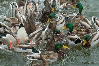 feeding frenzy..