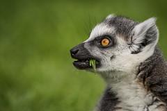 Smakelijk! (Christel Schoepen) Tags: ringstaartmaki planckendael dierenpark