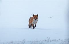 IMG_7476-2 (alibanban) Tags: renard aiguille de baulme neige nature escalade grimpe climb climbing wolf snow