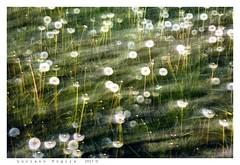 Blowing... (Alfoja) Tags: soffioni denti leone alfoja foglia fiori flowers meadow lucianofoglia