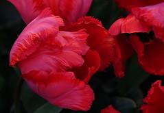 Drama Queen (zinnia2012) Tags: tulip red dramatic flower magnificent tulipe fleur rouge zinnia2012 fêtedelatulipemorges switzerland 7dwf