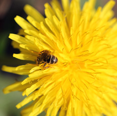 Pollinating Bee Butt! (RiverCrouchWalker) Tags: beautifulbugbuttthursday bee dandelion spring march 2017 kent northdownsway pollinator pollinatingbeebutt flower insect invertebrate